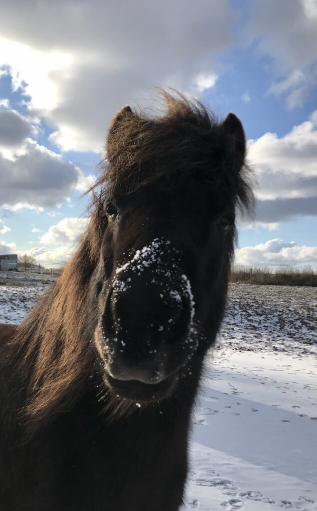 Sorte hest